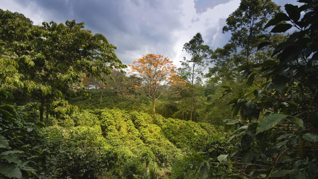 Une vue d'une plantation de café au Costa Rica.